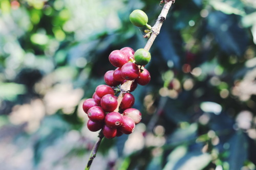 Coffee farm in Guatemala